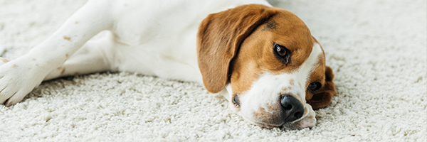 Dog laying on white carpet